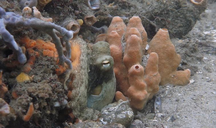 Octo among sponges_0156 3-2-2