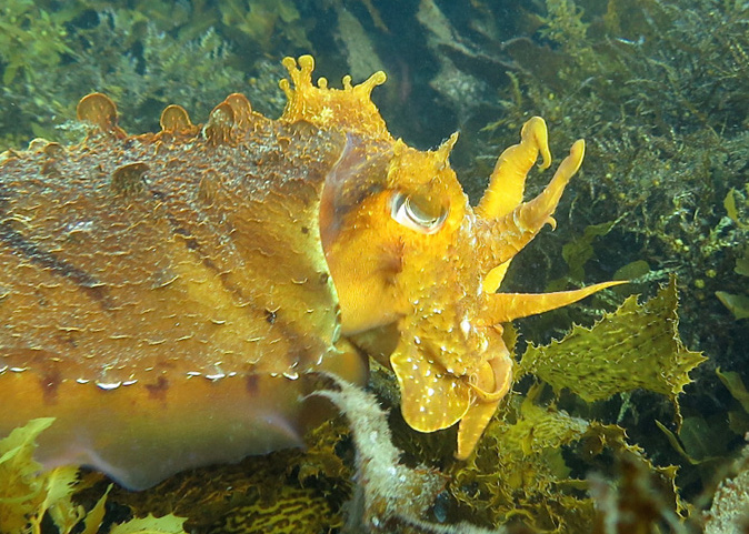Giant Cuttlefish_8791 - 1