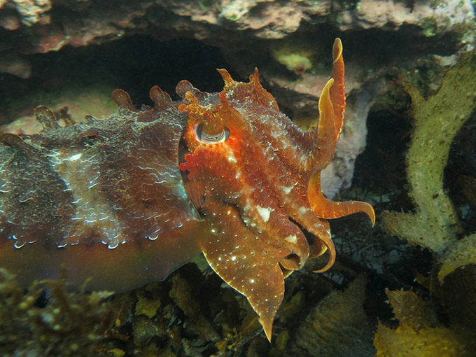 Giant Cuttlefish_8807 - 3