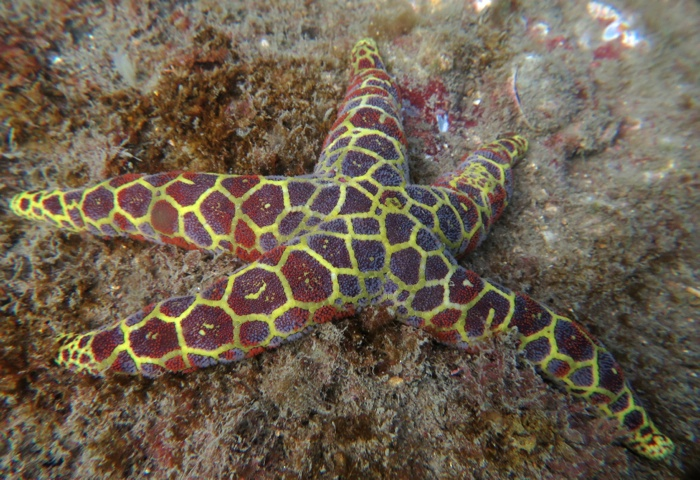 Mosaic Sea star_9724 2