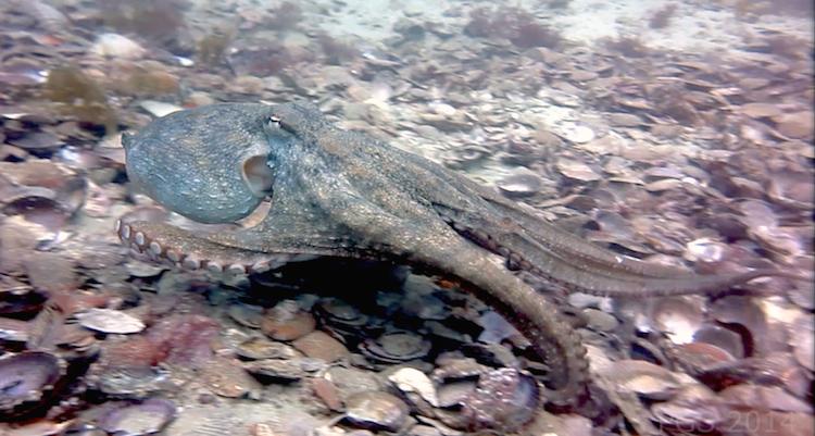 Octopolis-sst-1-cmp2