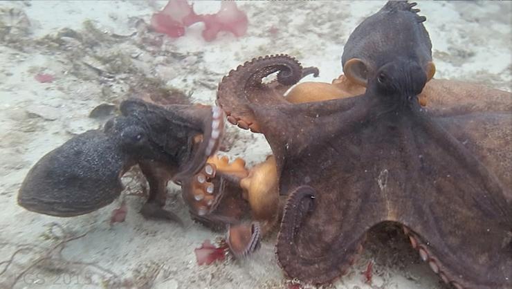 Octopus fight 2015 sst from video on Metazoan