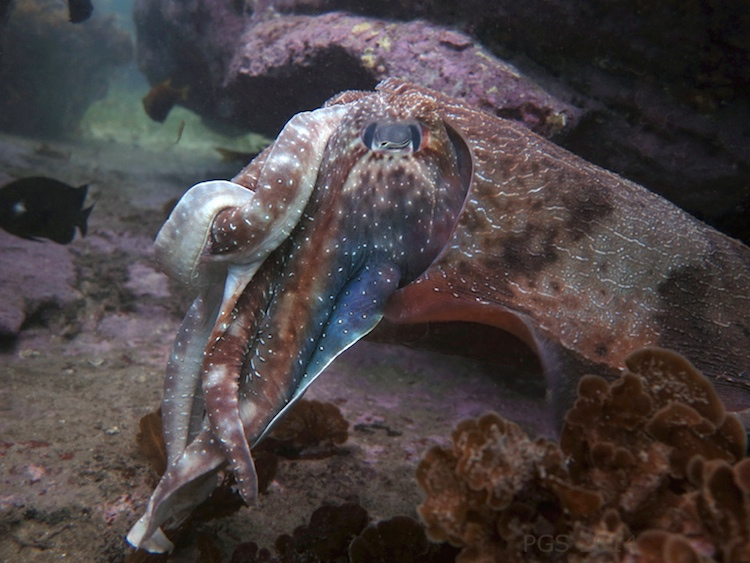 Knotted Cuttlefish_1715-2
