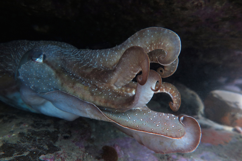 Cuttlefish_3049 -2