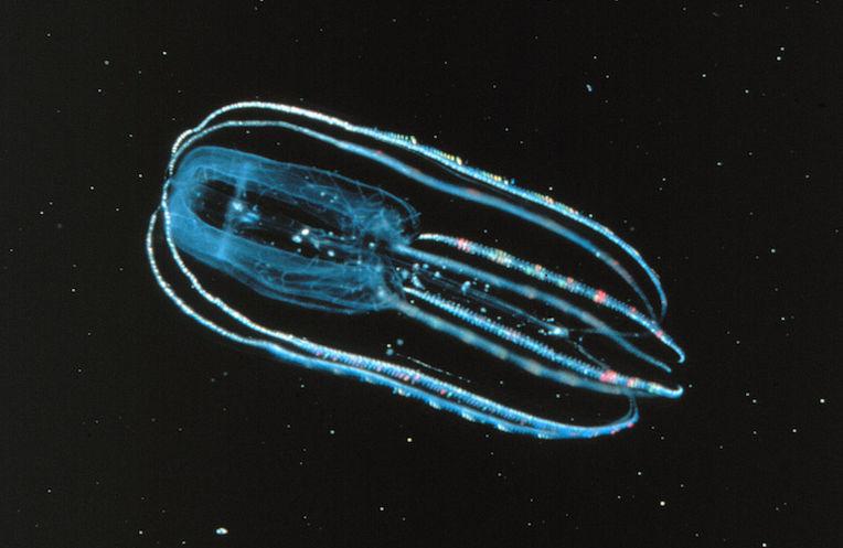Ctenophore_-_Bolinopsis_infundibulum from wiki