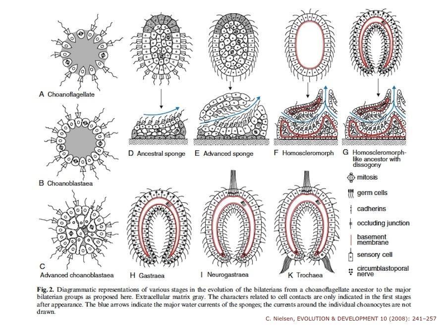Nielsen sponge larvae 2008 stages