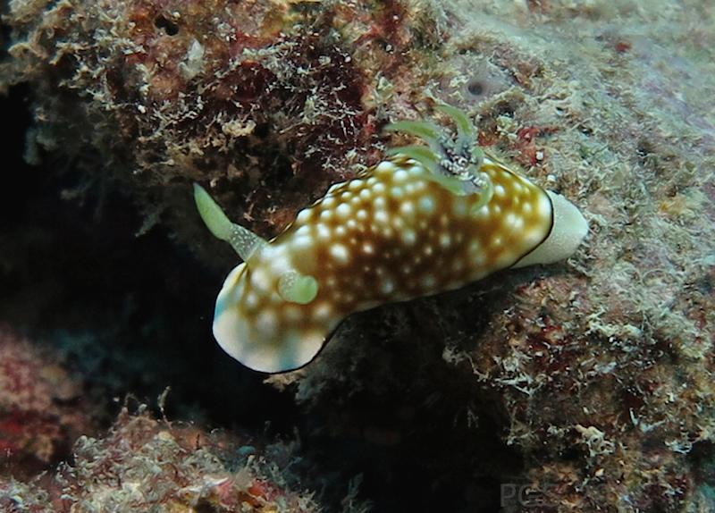 Goniobranchus (?) Fiji 2015 2b cmp