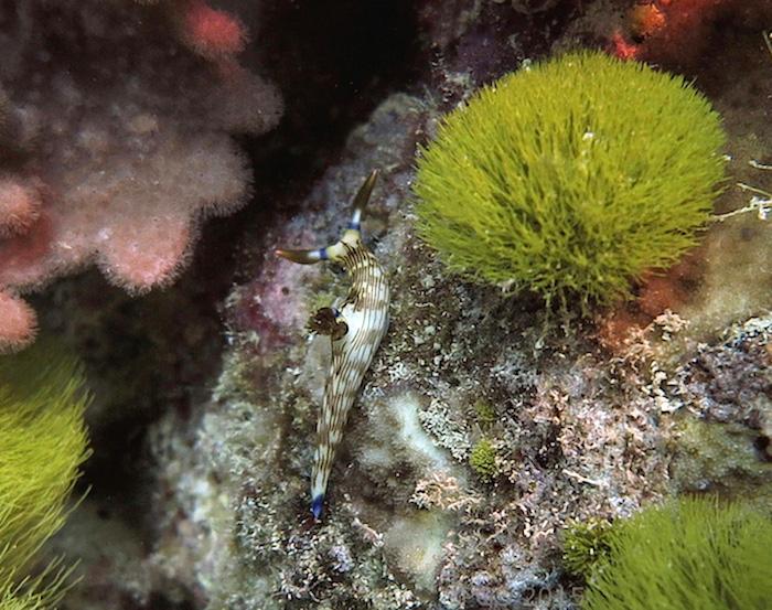 Nembrotha lineolata Fiji 2015 PGS cm4