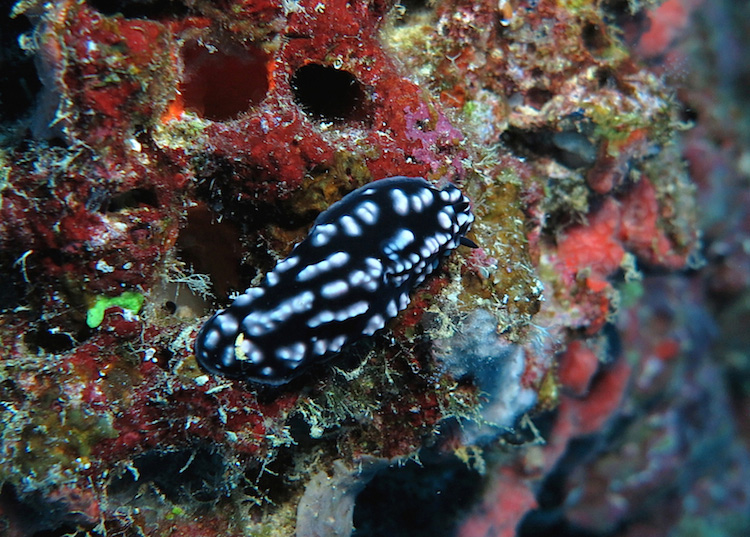 Phyllidiella pustulosa PGS Fiji 2015 cmp2
