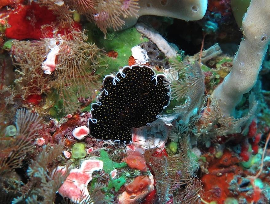 Platy Thysanozoon nigropapillosum Fiji PGS
