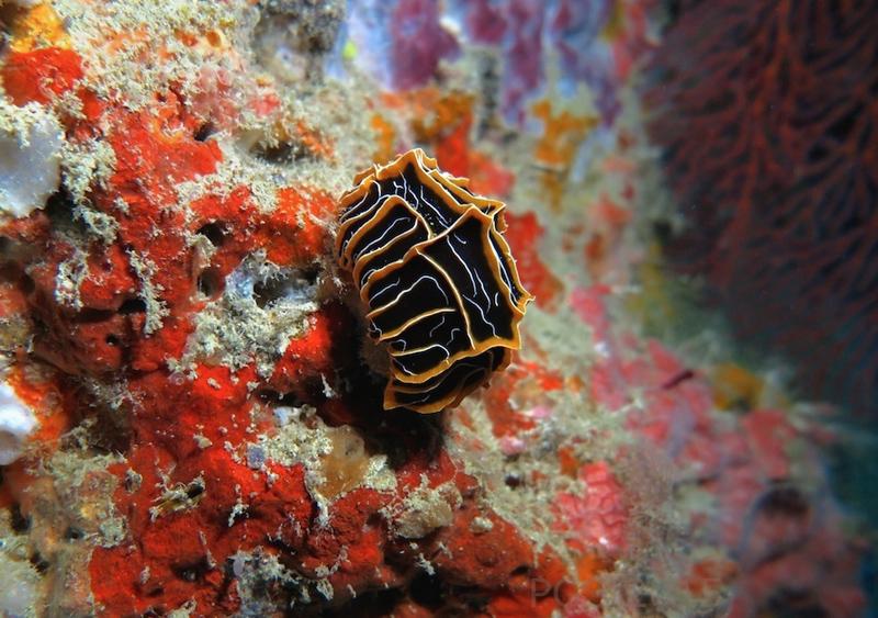 Reticulidia halgerda Fiji PGS 2015 3