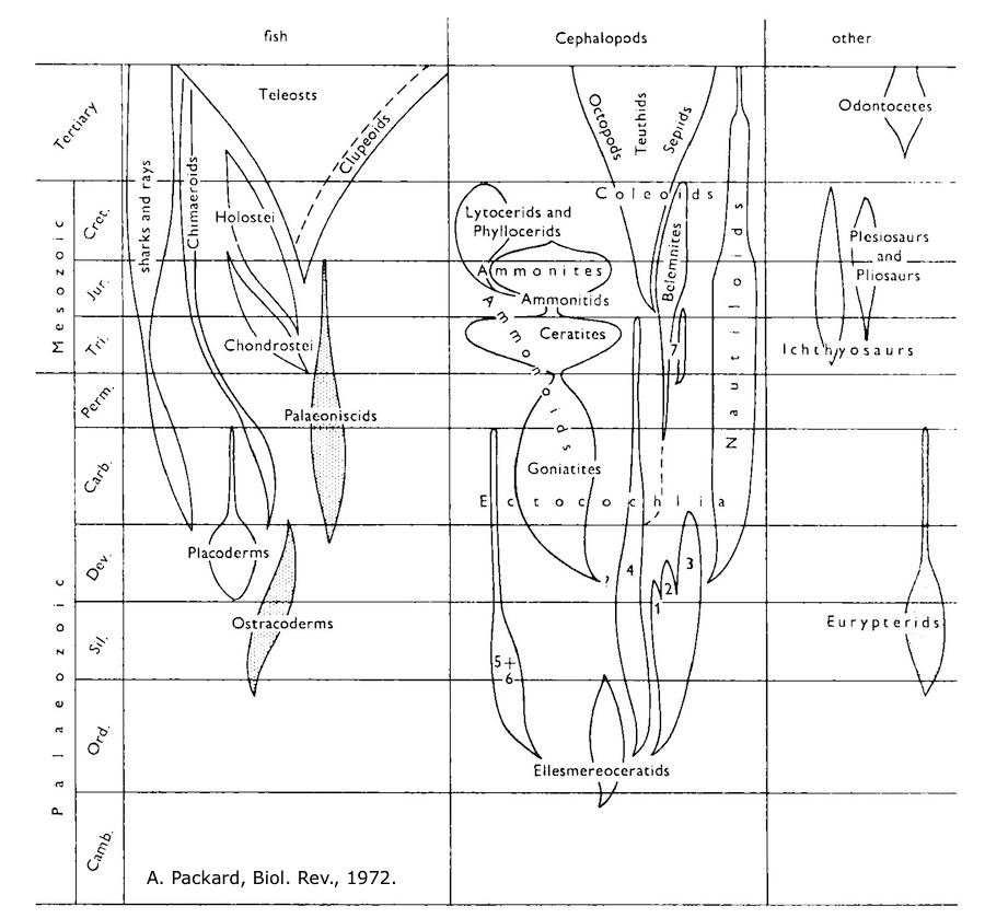 Packard 1972 cephalopod evolution figure cmp