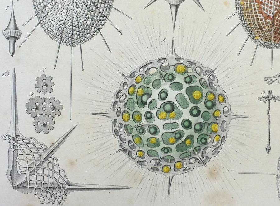 Haeckel Challenger_1407