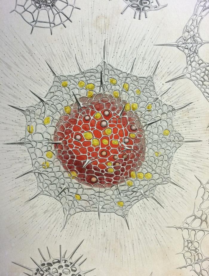 Haeckel_1418