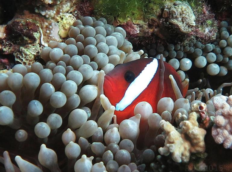 Anemone Fish Wananavu PGS 2015 cmp2