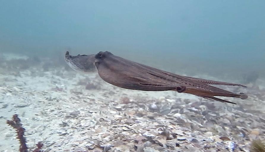 Jet propulsion octopus 2 c