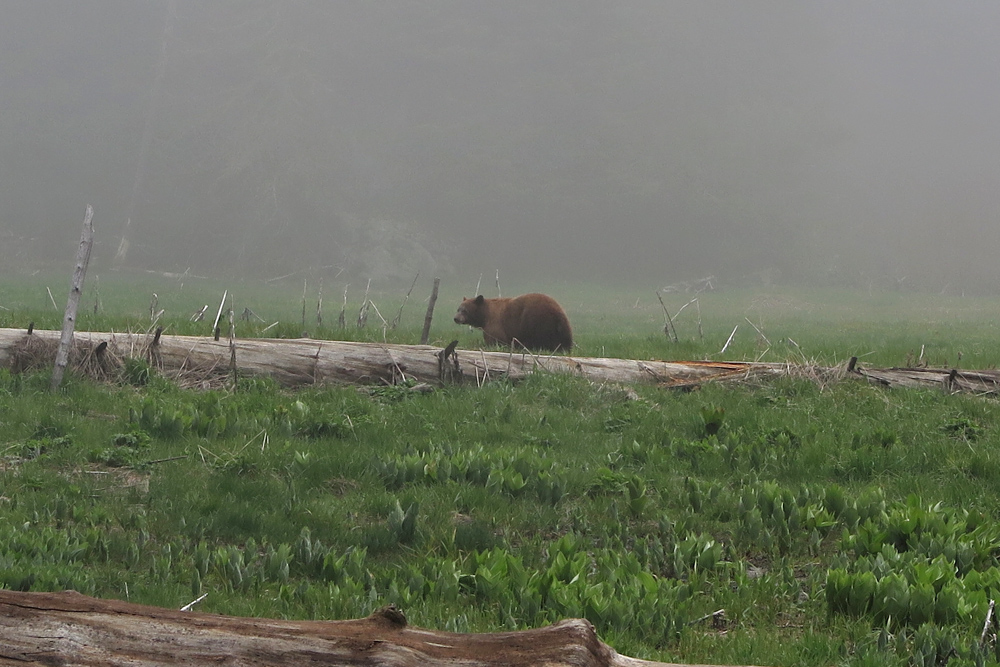 Bear_8472 cm2-c