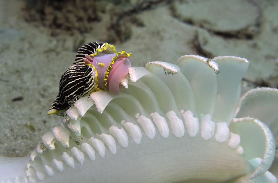 Armina nudibranch eats Opera House 2016_8972-cm1