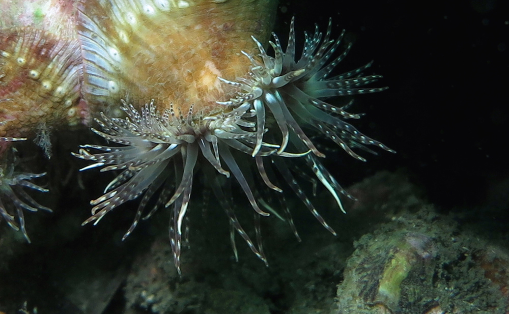 Anemone 1 cmp