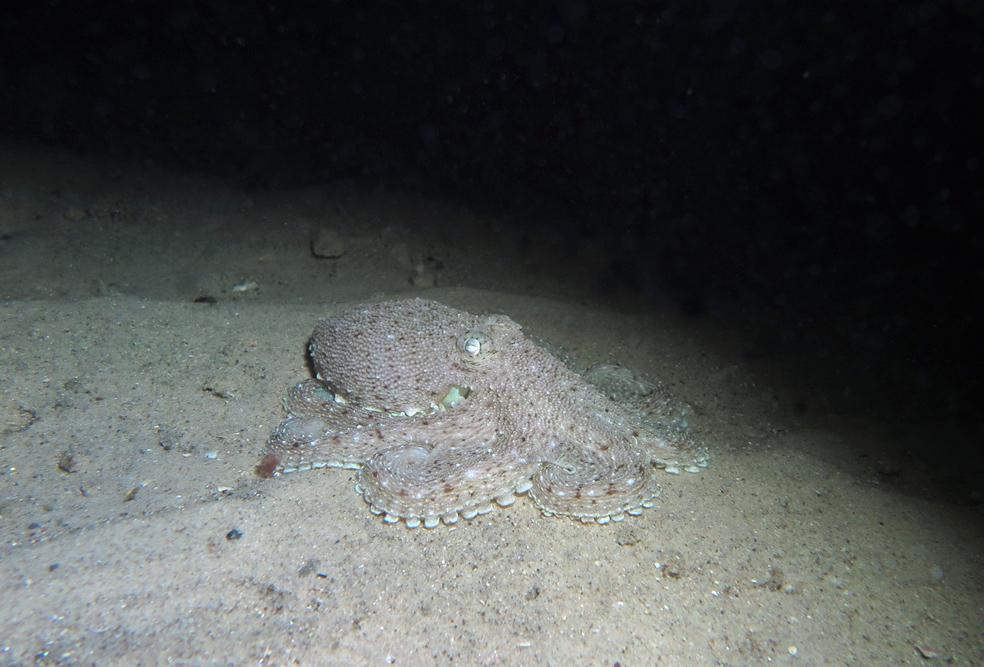 Octopus australis_0500 cmp