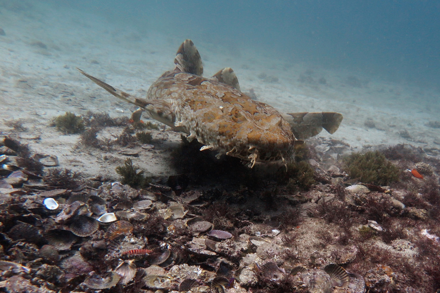 Wobbegong at Octlantis_9661 - V2 cmp
