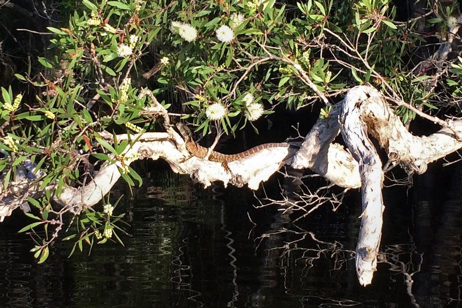 Myall water dragon close_1241 - 4