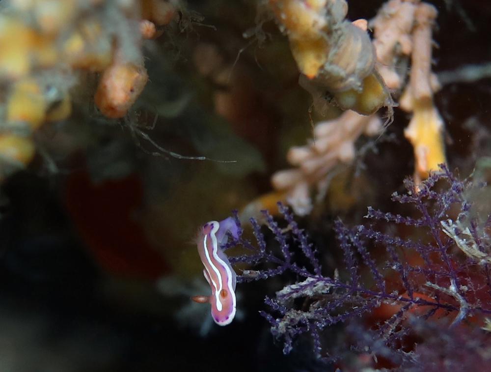 Verconia alboannulata has Skel Sh nearby_ 4032 cmp
