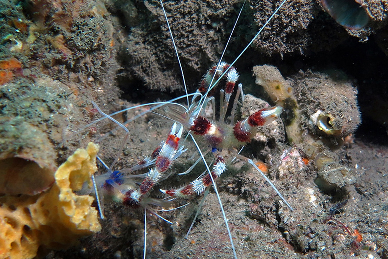 2 Stenopus shrimps_9977 cmp3