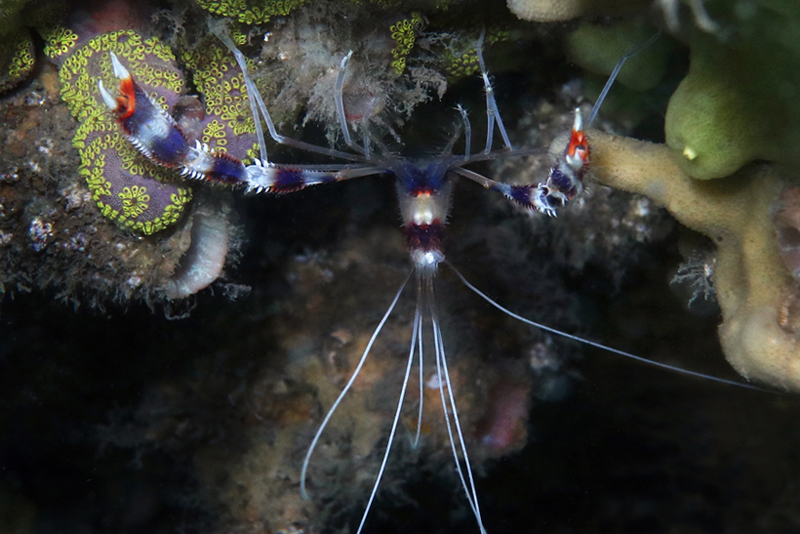 Stenopus Shrimp_8964 cmp1